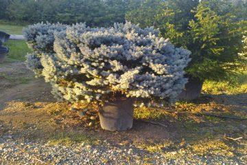 Conifere altre molte piante