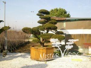Maxi bonsai giapponesi