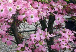 Particolare del fiore di Cornus